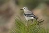 Clark's Nutcracker (Nucifraga columbiana) (byjcb) Tags: nutcracker birds reno nevada unitedstates us