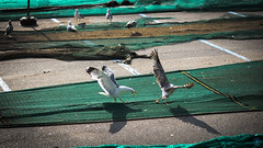 Goéland - Roses (Nik2o) Tags: roses catalunya printemps spring nikon d7500 goéland seagull marine combat fight animaux animal nature animale mer sea oiseau bird espagne géométrie couleur preaching sigma 50mm art apsc red de pesca fish net filet pêche