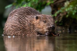 Beaver/ Biber