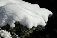 Snow on Pine Branch (Bracus Triticum) Tags: snow pine branch calgary カルガリー アルバータ州 alberta canada カナダ 3月 弥生 さんがつ yayoi newlifemonth 2018 平成30年 spring march 三月 sangatsu
