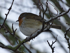 Feathers (Lexie's Mum) Tags: snow cold winter december2017 ice tree branch branches robin bird robinredbreast