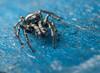 The blues... (JWB Creative Life) Tags: blue jumping spider arachnid small creature nature macro fuji laowa