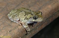 Gray Tree Frog (scott_clark) Tags: graytreefrog hylaversicolor frog amphibian animal nature wildlife charlottesville fujifilmxt2 fujifilm80mm