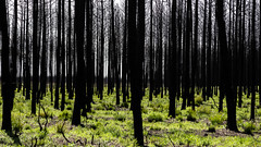 Green ghosts (The eclectic Oneironaut) Tags: 2018 6d canon eos portugal carriço leiria pt forest bosques pinetrees dead fire burned life grass green vegetal corpses black mushishi