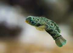 Picturesque Dragonet (San Diego Shooter) Tags: picturesquedragonet fish dragonet sandiego bokeh macro birchaquarium uncool uncool2 uncool3 cool uncool4 uncool5 uncool6