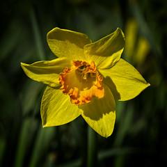 Spring Star (MrBlueSky*) Tags: daffodil flower petal plant nature outdoor garden horticulture colour kewgardens royalbotanicgardens london pentax pentaxart pentaxlife pentaxawards pentaxflickraward pentaxk1mkii aficionados