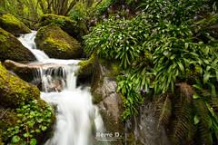 Jacinthes des Pyrénées (Hervé D.) Tags: jacinthes pyrénées pirineos ardengost aura valléedaure fleurs cascade waterfall bluebells