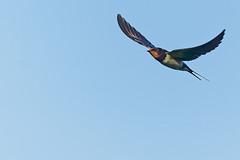 Hirondelle rustique A7307426_DxO (jackez2010) Tags: ilce7m3 fe100400mmf4556gmoss hirondellerustique bif birdinflight