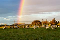 Rainbows and Cows (Fabio Scalabrini) Tags: arcoiris rainbow vacas vaca boi gado cow cows pasto sky ceu grama grass cloudy cloud blue trees 70d canon 50mm18 50mm