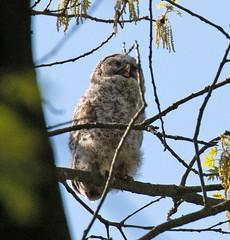 Barred Owl (ksblack99) Tags: burkelakebandingstation bath michigan bird barredowl owl strixvaria