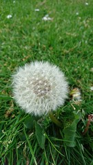 Day 141 (Emmadukew) Tags: pad18 2018pad 141365 dandelion seeds