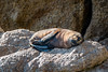 Sealion taking a nap. (Stanislasgros3) Tags: lionseal lion mer hiking randonnée zealand new abel tasman track île sud de otarie rock sun soleil napping sieste nouvelle zélande pacifique pacific