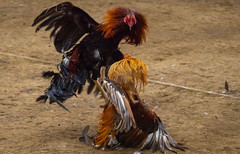 Cock fighting a7iii-1- (6) (walterkolkma) Tags: a7m3sonya7iiiphilippinesmanilala loma cockpitcockfightingcock fighting gambling