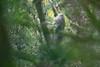 Formosan Rock Macaque (Macaca cyclopis), Dasyueshan, TW, 20180425-101.jpg (maholyoak) Tags: daxueshan dasyueshan formosanrockmacaque taiwan macacacyclopis hepingdistrict taichungcity tw