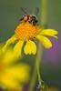 Honey bee with pollen pellet on flower at Desert Botanical Garden, Phoenix, Arizona (diana_robinson) Tags: honeybee pollenpellet orangeclumps pollensack apidbees pollenbasket corbicula desertbotanicalgarden phoenix arizona