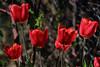 Tulips / Tulpen (berndkru) Tags: canoneos6dmarkii ef70200mmf4lisusm tulips tulpen blume flower red rot bokeh