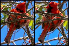 Cardinal Preening (Bob90901) Tags: cardinal preening portland maine bird spring morning animal rpg90901 canon 6d canonef70200mmf28lisiiusm canon70200f28lll 2017 may 114504 114505