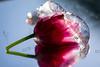 Tulipe glacée (Meculda) Tags: reflet tulipe fleur flower blümen glace eua water ice macro macrophotography macroflower nikon 105mm spring printemps 2018