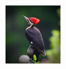 Pileated Woodpecker (George McHenry Photography) Tags: woodpecker pileatedwoodpecker southcarolinabirds southcarolina