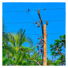 Bajan Power (Timothy Valentine) Tags: 2018 0418 palm telegraphtuesday birds sky trees vacation bridgetown christchurch barbados bb