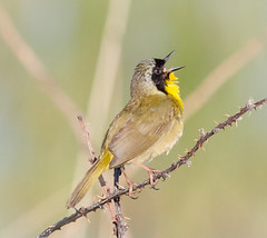 I am Back!!!! (tresed47) Tags: 2018 201804apr 20180423delawarebirds april birds bombayhook canon7d commonyellowthroat content delaware folder peterscamera petersphotos places season spring takenby us warbler ngc