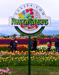 Skagit Valley Tulip Festival (Roozengaarde) (SonjaPetersonPh♡tography) Tags: laconner mountvernon mtvernon skagitvalley skagitvalleytulipsfestival skagitcounty skagitvalleytulipfestival skagitcoiunty washington washingtonstate washingtonmountvernon stateofwashington nikon flowers nikond5300 colours fields plants roozengaarde roozengaardeskagitvalleytulipfestival festival tulipfestival tulipfields tulip tulips