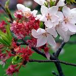 "Cincinnati – Spring Grove Cemetery & Arboretum ""Ornamental Cherry Tree Blossoms"