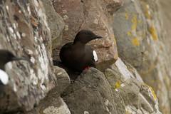 black guillemot (jon lees) Tags: bird coastal countydown northernireland ballyholme groomsport