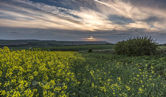 Over the hill (Through Bri`s Lens) Tags: sussexdowns adurvalley rapeseed yellow sunset skies sky flower brianspicer canon5dmk3 canon1635f4 lee09softgrad