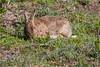 ©Mark Kras-Konijn-_DWL2925.jpg (markkras-fotografie) Tags: zoogdieren konijn fauna europeanrabbit oryctolaguscuniculus nederland nl