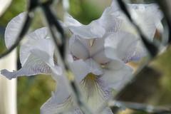 DSC_2012 (griecocathy) Tags: reflet miroir macro fleur iris coeur pétale étamines vert blanc jaune violet grieco cathy