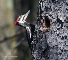 Pileated Woodpecker. (rumerbob) Tags: pileatedwoodpecker woodpecker bird birdwatching birdwatcher avian wildlife wildlifephotographer wildlifewatcher nature naturewatcher naturephotography buckscountypa canon7dmarkii canon100400mmlens