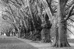 Ludwigshafen-Platanenallee (OdenWALDfotograf) Tags: ludwigshafen alle platanen bäume trees schwarzweiss