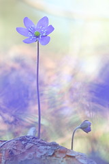 Hepatica 19 (jttoivonen) Tags: nature flowers plant macro closeup detail bokeh spring blue finland creativecommons