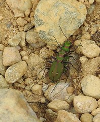 tiger beetle pair (BSCG (Badenoch and Strathspey Conservation Group)) Tags: acm beetle pair sunshine may cicindela cicadellidae