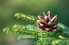 Pine cone (ErrorByPixel) Tags: tree needle needles pine cone nature green bright close macro pentax k5 errorbypixel blur forest