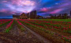 Sunrise in Skagit (little m:)) Tags: tulips skagitvalley tulipfestival sunrise barn oldbarns colorful naturephotography mtvernon washingtonstatetourism mud nikond800 littlemphotography