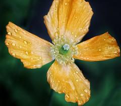 California pretty poppy! 😁 (LeanneHall3 :-)) Tags: orange petals californiapoppy poppy flower flowersarefabulous flowersarebeautiful flowerflowerflower closeup closeupphotography macro macrophotography garden canon 1300d