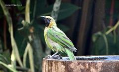 DSC01075 Jerdon's Leafbird-Male (Chloropsis jerdoni) (vlupadya) Tags: greatnature animal aves fauna indianbirds jerdonsleafbird chloropsis male kundapura karnataka
