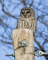 Barred Owl - Cass county, central Illinois (emace) Tags: bridgepreferenceslabelgreenapproved barredowl nature animal wildlife bird raptor perched spring casscounty centralillinois sitem