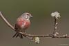 Pintarroxo (SérgioMoreira) Tags: cardueliscannabina pintarroxocomum sérgiomoreira aves birds vilareal sabrosa linnet wildlife wild hide