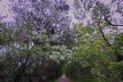 allée d'arbres en fleur (8pl) Tags: allée arbres fleurs taïwan parc promenade marche petiteroute chishang couleurs