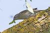 Blackcap F (drbut) Tags: blackcap sylviaatricapilla warbler trees woodland nature wildlife avian bird birds canonef500f4lisusm