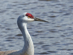 Sandhill Crane - Burnaby, BC (Michael W Klotz - The Bird Blogger.com) Tags: sandhillcrane burnaby lake piper spit bc britishcolumbia canada red white grey rust water portrait beak antigonecanadensis