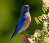 Western Bluebird (Ciosog) Tags: lostlake westernbluebird