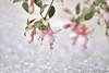 Fuchsia hybrid - Windchimes (Zara Calista) Tags: fuchsia hybrid candy lights ornamental pink light white flower plant outdoors san diego ca