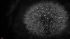 Everthing Is Dandy (MBates Foto) Tags: availablelight blackandwhite bokeh botanicals closeup dandelion daylight existinglight lowlight macro monochrome nikkorlens nikon nikond810 nikonfx outdoors plants spokane washington unitedstates 99203
