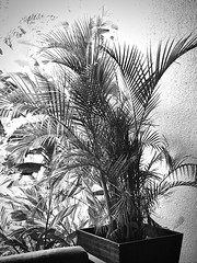 Foliage (LarryJay99 ) Tags: walls textures blackwhite greenery leaves pottedplants containergardening urban outdoorliving
