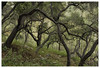 ANF_0244 (Thomas Willard) Tags: california foothills woodland oak coast live woods tree forest mountains chaparral canopy angeles branches national alder white
