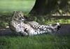 Guépard sur le départ , Parc des Félins (StephanieB.) Tags: guépard féline animal afrique parcdesfélins france sauvage wild félin cheetah tacheté nature